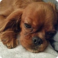 Adopt A Pet :: Cora - Fairview Heights, IL