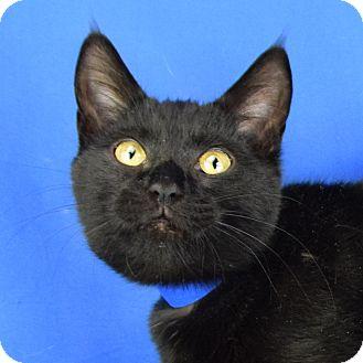 Domestic Shorthair Kitten for adoption in Carencro, Louisiana - Bastet
