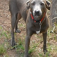 Blue Lacy/Texas Lacy Dog for adoption in Columbus, Ohio - Dusty