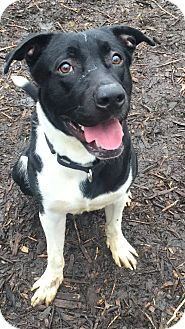 Labrador Retriever Mix Puppy for adoption in South Park, Pennsylvania - Ace