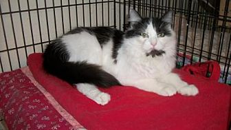 Domestic Longhair Cat for adoption in Lacon, Illinois - Pachelbel