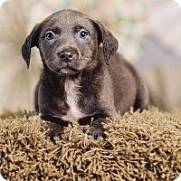 Adopt A Pet :: Minnow - Portland, OR
