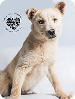 Labrador Retriever/German Shepherd Dog Mix Puppy for adoption in Inglewood, California - Anne Bonny