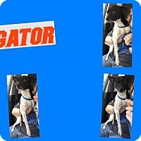 Adopt A Pet :: GATOR - Plano, TX