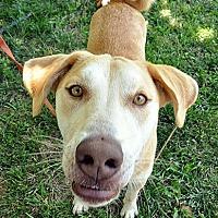 Adopt A Pet :: Lazer - Fort Leavenworth, KS