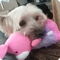 Yorkie, Yorkshire Terrier/Yorkie, Yorkshire Terrier Mix Dog for adoption in Elkton, Virginia - Sadie