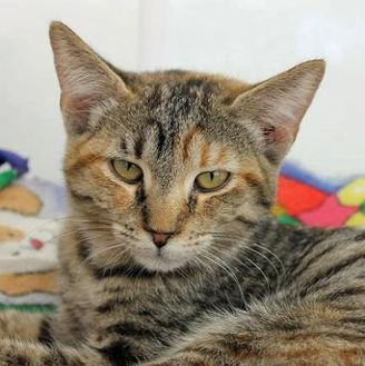 Domestic Shorthair/Domestic Shorthair Mix Cat for adoption in Mountain Center, California - Lavendar