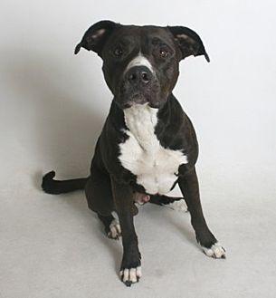 Pit Bull Terrier Mix Dog for adoption in Redding, California - Brad