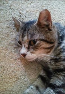 Domestic Shorthair/Domestic Shorthair Mix Cat for adoption in New Freedom, Pennsylvania - Champ