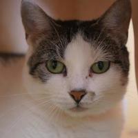 Adopt A Pet :: Cuddles - Merrill, WI