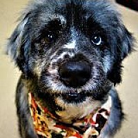 Adopt A Pet :: RUFUS - Little Rock, AR