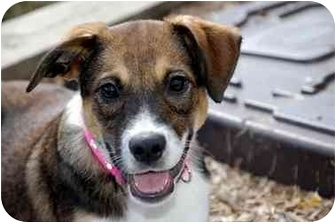 Beagle Mix Puppy for adoption in Rockville, Maryland - Moonbeam