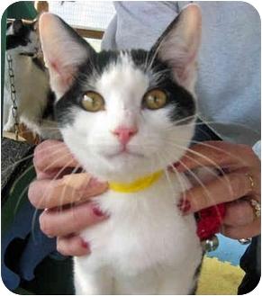 Domestic Shorthair Cat for adoption in McDonough, Georgia - Gin Family#2 Deuce