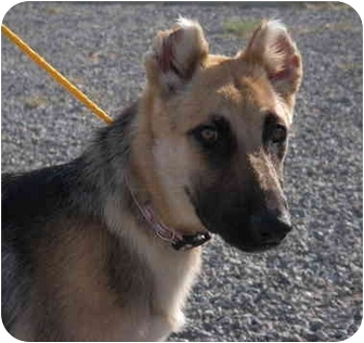 German Shepherd Dog Puppy for adoption in Las Vegas, Nevada - Lady