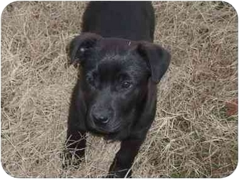 Labrador Retriever Mix Puppy for adoption in Braintree, Massachusetts - Louise