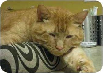 Domestic Shorthair Cat for adoption in Houston, Texas - Craig Hemingway