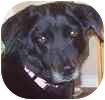 Collie/Labrador Retriever Mix Dog for adoption in Hamilton, Ontario - Kacie