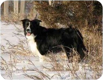 Border Collie Dog for adoption in Bellevue, Nebraska - Breanna
