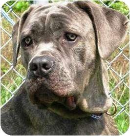 Neapolitan Mastiff Dog for adoption in Oswego, Illinois - Pandora
