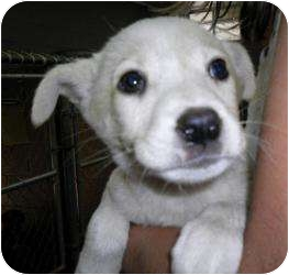 Australian Shepherd Mix Puppy for adoption in Gaffney, South Carolina - Ellis