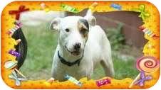 Labrador Retriever/Terrier (Unknown Type, Medium) Mix Dog for adoption in Foster, Rhode Island - Shasta