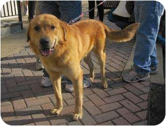 Golden Retriever Mix Dog for adoption in Alexandria, Virginia - Buddy