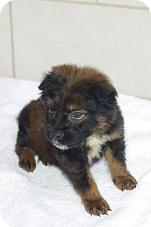 Yorkie, Yorkshire Terrier/Terrier (Unknown Type, Small) Mix Puppy for adoption in Houston, Texas - Capone
