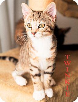 Domestic Shorthair Kitten for adoption in St. Louis, Missouri - Twinkie