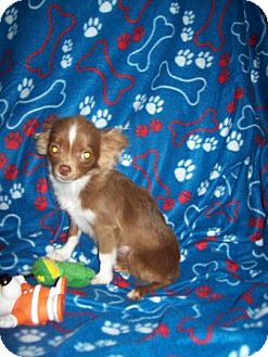 Chihuahua Puppy for adoption in Sunset Hills, Missouri - Dreamer