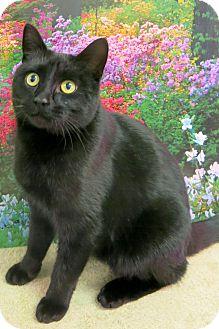 Domestic Shorthair Cat for adoption in Buena Vista, Colorado - Black Velvet