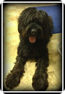 Labradoodle Dog for adoption in Indian Trail, North Carolina - Benny