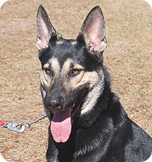 German Shepherd Dog Dog for adoption in Preston, Connecticut - Toby
