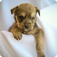 Adopt A Pet :: Puppy1 - Mission Viejo, CA