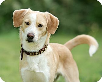Beagle Mix Dog for adoption in Wilmington, Delaware - Snoopy