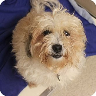 Shih Tzu Mix Dog for adoption in Naperville, Illinois - Loretta