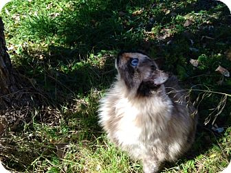 Domestic Longhair Cat for adoption in Buffalo, Wyoming - Pixi
