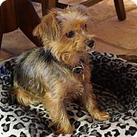 Adopt A Pet :: Sparky - Cotati, CA