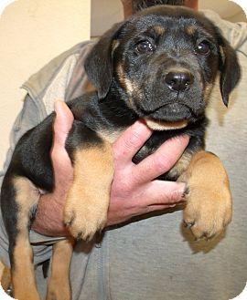 German Shepherd Dog Mix Puppy for adoption in Corona, California - JENNA