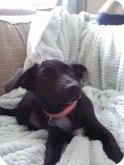 Labrador Retriever Mix Puppy for adoption in Nanuet, New York - Molly