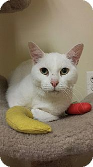 Domestic Shorthair Cat for adoption in East Meadow, New York - Snowflake