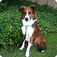 Adopt A Pet :: Sam - Columbia, SC