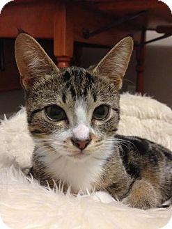 Domestic Shorthair Kitten for adoption in Rochester Hills, Michigan - Bentley