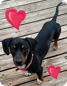 Dachshund Mix Dog for adoption in Snyder, Texas - Digger