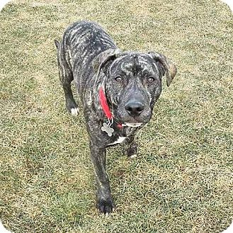 American Pit Bull Terrier/Boxer Mix Puppy for adoption in Warrenville, Illinois - Ward