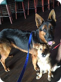 German Shepherd Dog/Collie Mix Puppy for adoption in Santa Barbara, California - Elliot