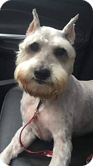 Schnauzer (Miniature) Dog for adoption in Mary Esther, Florida - Rhett