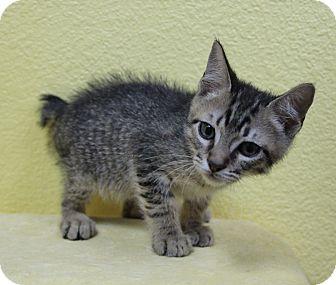 American Bobtail Kitten for adoption in Benbrook, Texas - Nick