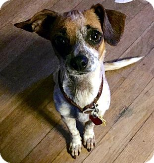 Rat Terrier/Greyhound Mix Dog for adoption in Tijeras, New Mexico - Layla