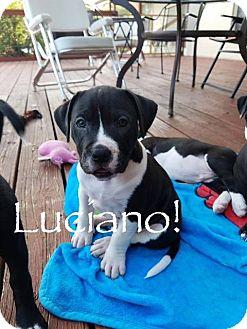 American Bulldog/Great Dane Mix Puppy for adoption in Dallas, Texas - Luciano