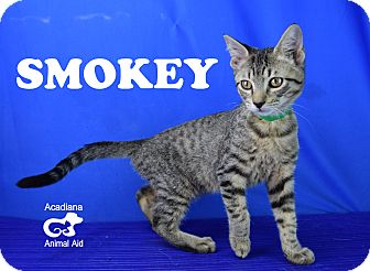 Domestic Shorthair Kitten for adoption in Carencro, Louisiana - Smokey